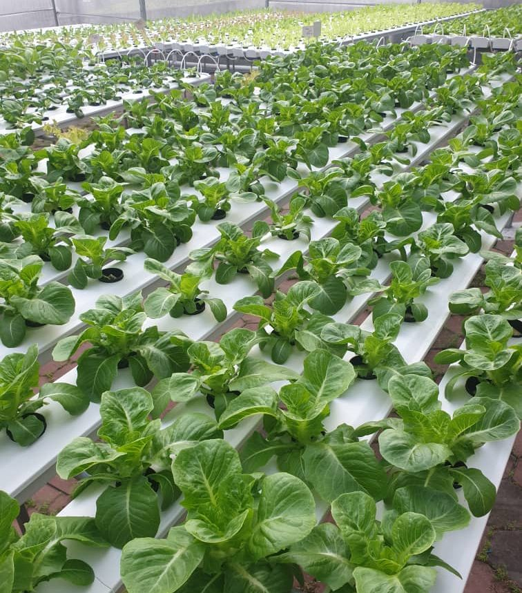 Sunway FutureX Farm harvest